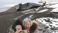 Ловля и разделка гренландского кита неподалеку от городка Барроу, на севере Аляски. Молодые охотники-китобои часто учатся использовать гарпун для разделки туши, чтобы отделить гигантские пласты кожи и подкожного жира.