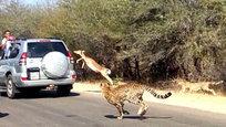 Порой в экстремальной ситуации люди способны на невероятные поступки. Как, впрочем, и импалы - африканские антилопы...