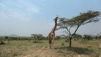 Самый посещаемый поклонниками экзотического туризма со всего мира заповедник Нгоронгоро — огромный кратер в Танзании на краю саванны Серенгети, возникший в качестве кальдеры в результате коллапса крупного вулкана около 2,5 миллиона лет назад. И именно отсюда, по мнению ученых, пошла человеческая цивилизация.