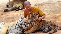 По сообщению международной организации ветеринаров и защите животных Care for the Wild, служители и монахи буддийского храма в Таиланде жестоко обращаются с животными: в частности, тигров якобы пичкают наркотиками и истязают. Все делается ради прибыли и в угоду туристам.