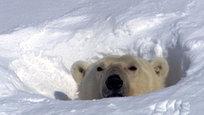 Ежегодно 27 февраля отмечается Международный день полярного медведя, хотя по нашей привычке мы называем его — День белого медведя.