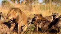 Гиены - те еще лицемеры, прохвосты и задиры. Конечно же, по силе никакая гиена не идет в сравнение со львом, откуда бы они ни были родом, даже из парка дикой природы Lamai Serengeti Wildlife в Танзании. Однако что им, по сути мешает, взять царя зверей числом?