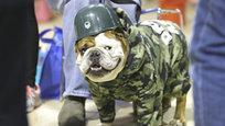 В минувший уикенд в штате Айова прошел 36-й ежегодный конкурс на звание самого красивого бульдога Drake Relays Beautiful Bulldog Contest. Победителем в этом году жюри признало бульдога по кличке  Танк .