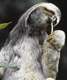 В лесах Южной и Центральной Америки встречается очень забавное существо с длинными конечностями, глазками-щелочками и забавной мордочкой. Этот загадочный зверек — ленивец, которому очень подходит это название! Узнаем интересные факты из жизни этих симпатяг.
