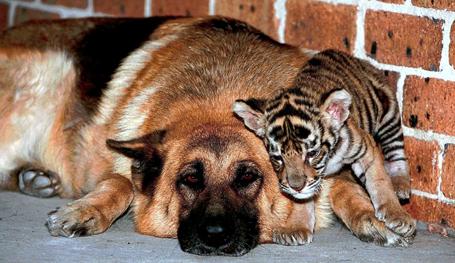 Животные дружат друг с другом не только в сказках, стихах и мульфильмах. В жизни тоже существуют удивительные примеры привязанности между разными  звеньями пищевой цепочки .
