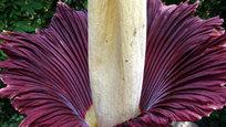 В парке дикой природы города Девон, Англия, расцвел огромный и невыносимо вонючий цветок, который называется Titan Arums.