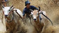 По грязному рисовому полю, держась за хвост быка