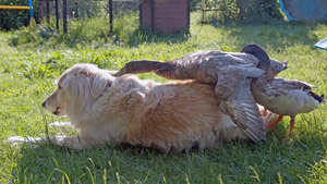 Любвеобильная утка и застенчивый лабрадор-ретривер. Владелица пса утверждает, что совместная жизнь животных привела к тому, что уточка захотела познать щенячью любовь.