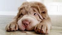Это Тонки — щенок шарпея, который успел вызвать огромную волну умиления в интернете. Хозяева называют своего питомца Тонки-медвежонок, поскольку он очень похож на игрушечного медвежонка.