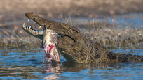 Как орлан у крокодила добычу отобрал