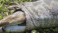 Хотите присутствовать на необычном завтраке? Милости просим! Питон в штате Гуджарат, который расположен на западе Индии, пожирает парнокопытное животное семейства полорогих — нильгау (Boselaphus tragocamelus). Покадровая съемка.