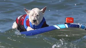 Собаки разных пород, от бульдогов и далматинов до вельш-корги и дворняг, принимают участие в Шестом ежегодном собачьем серфинге, проходящем в калифорнийском Хантингтон-Бич. Умильные мордашки, и страстное желание быстрее рвануть домой, подальше от бушующих волн!