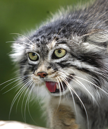 Кошки, которые любят жить у воды и не брезгуют ящерицами и пауками, а также могут подбить ослика... Слышали о таких? Они существуют. Посмотрите, где они живут!