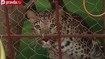 Московская полиция ловила леопарда