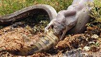 Питон против крокодила: смертельная битва