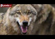 Кровавый обед волчьей стаи