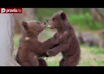 Бойцовский клуб для медведей