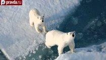 Белых медведей убьёт жадность