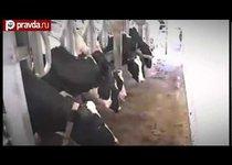 Минск сливает России молоко с туберкулезом