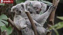 Власти Австралии убили почти 700 коал