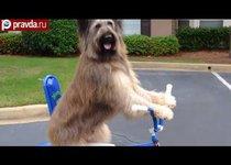 Пес осваивает велосипед