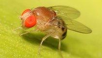 Путь к бессмертию начинается с мух-долгожителей