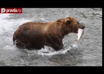 Аляска сближает людей и медведей