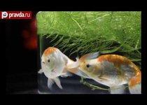 Япония поймала золотую рыбку