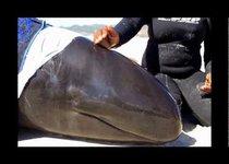 Дельфинов-самоубийц спасают в ЮАР