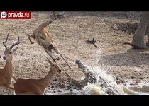 Антилопа спаслась из пасти крокодила