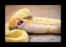 Жестокий обед змеи-убийцы
