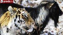 Обама переедет к козлу Тимуру и тигру Амуру