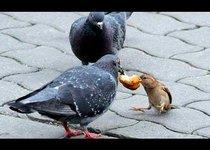 Кто у голубей главный?