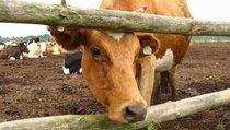 Чем чиновникам помешал домашний скот?