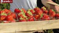 Сельское хозяйство России очистят от ГМО