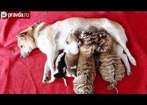 Собака выкормила пару тигрят