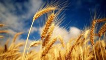 Россия обойдется без импортного зерна?