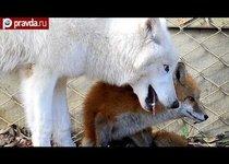 Арктический волк и лиса стали заклятыми друзьями