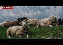 Рамзан Кадыров: молодец и без овец