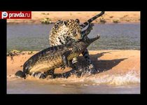 Ягуар растерзал аллигатора