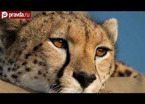 Гепарды: взгляните в глаза смерти
