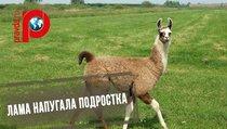 В американском сафари-парке лама довела ребенка до истерики