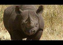 350 000 долларов за убийство черного носорога