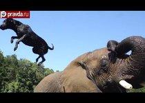 Крепкая дружба собаки и слонихи