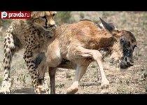 Гепарды съели антилопу сразу после рождения