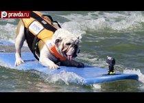 Собаки-серфингисты покоряют океан