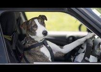 Собаки за рулем: невозможное возможно?