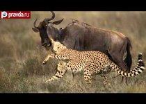 Гиены отняли обед у гепардов